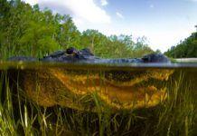 Alligatorn Everglades ingenjör