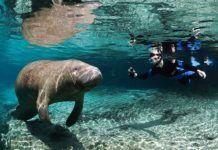 Simma med manatees, Florida